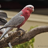 GALAH COCKATOO (ALSO KNOWN AS ROSE-BREASTED COCKATOO).