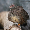 MALE STONE PARTRIDGE