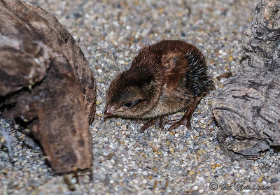 STONE PARTRIDGE Recently hatched one of two chicks.