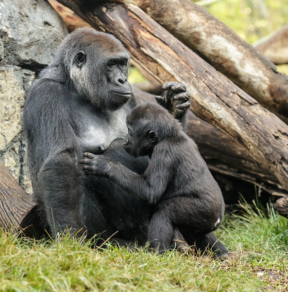 2 YR OLD MALE GORILLA DENNY WITH MOTHER JESSICA.