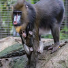 6 WEEK OLD MALE BABY MANDRILL AJANI BORN 11/28/2016 WITH MOTHER KESI.