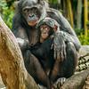 FEMALE BONOBO LISA WITH HER BABY BELLE.