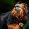 ZOE, A FEMALE GOLDEN-HEADED LION TAMARIN