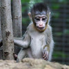7 WEEK OLD MALE BABY MANDRILL - AJANI