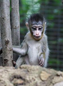7 WEEK OLD MALE BABY MANDRILL - AJANI