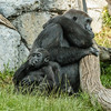 WESTERN GORILLA<br /> DENNY, A 1½ YR OLD MALE WITH HIS MOM JESSICA.