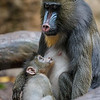 BABY MANDRILL AJANI BORN 11/28/2016 WITH MOTHER KESI.