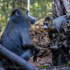 AJANI, A 3 MONTH OLD MALE MANDRILL WITH HIS MOTHER KESI.