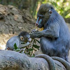 7 WEEK OLD MALE BABY MANDRILL - AJANI WITH MOM KESI.