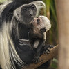 ANGOLAN COLOBUS MONKEY<br /> ADULT WITH A BABY