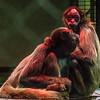 COLOMBIAN BROWN SPIDER MONKEY - JOE & LUCY<br /> (Under a heatlamp)