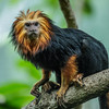 GOLDEN-HEADED LION TAMARIN<br /> MALE CILANTRO