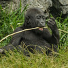 DENNY, A 17 MONTH OLD MALE WESTERN GORILLA.