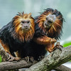 GOLDEN-HEADED LION TAMARIN<br /> CILANTRO AND ZOE