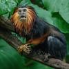 GOLDEN-HEADED LION TAMARIN<br /> FEMALE ZOE
