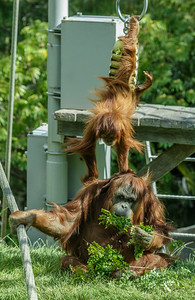 SUMATRAN ORANGUTAN 2½ YR OLD JUVENILE FEMALE, AISHA, TRYING TO TAKE GET KAREN'S BROWSE.