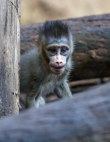 6 WEEK OLD MALE BABY MANDRILL AJANI BORN 11/28/2016.