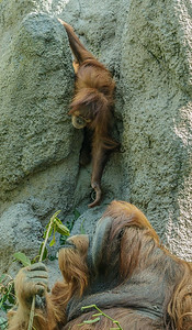SUMATRAN ORANGUTAN 2½ YR OLD JUVENILE FEMALE, AISHA AFTER DAD SATU'S TREATS.