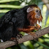 ZOE, A FEMALE GOLDEN-HEADED LION TAMARIN