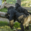 2 YR OLD MALE GORILLA - DENNY WITH MOTHER JESSICA