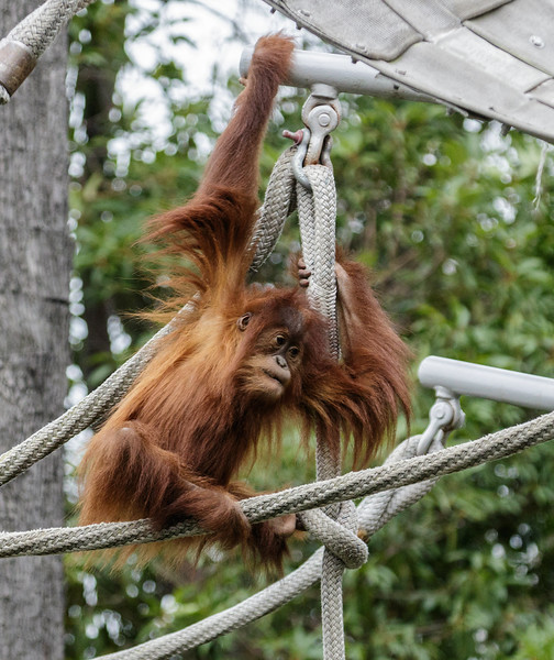 3 YEAR OLD JUVENILE FEMALE ORANGUTAN - AISHA