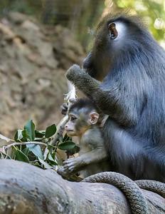 7 WEEK OLD MALE BABY MANDRILL - AJANI WITH MOM KESI.