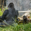 DENNY, A 1¾ YR OLD MALE WESTERN GORILLA WITH DAD PAUL DONN.