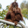 3 YEAR OLD FEMALE SUMATRAN ORANGUTAN - AISHA