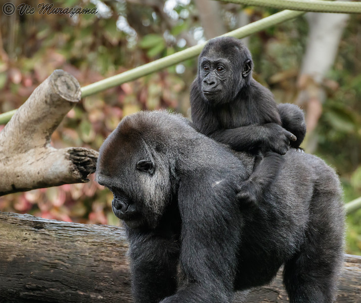 DENNY, A 2 YR OLD JUVENILE MALE GORILLA RIDING ON MOM JESSICA'S BACK.