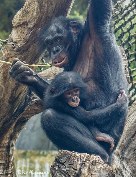 FEMALE BONOBO LISA WITH HERE BABY BELLE.