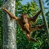 AISHA, A 33 MONTH OLD FEMALE JUVENILE ORANGUTAN