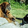 MALE SIAMANG UNKIE AND MALE ORANGUTAN SATU.