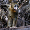 AJANI, A 3 MONTH OLD MALE MANDRILL.