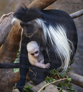 NEW BABY ANGOLAN COLOBUS MONKEY