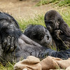 MALE BABY GORILLA, DENNY AND DAD PAUL DONN