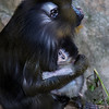 FEMALE MANDRILL KESI AND HER 4 DAY OLD SON BORN ON 11/28/2016.