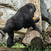 DENNY, A 1¾ YR OLD MALE WESTERN GORILLA WITH FROZEN ICE TREATS.