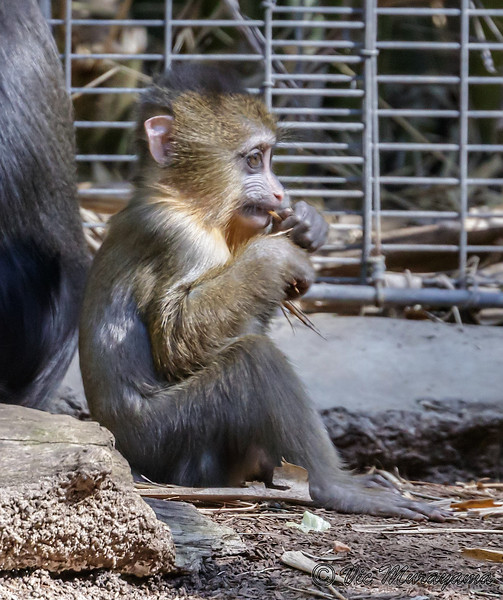 AJARI, A 3 MONTH OLD MALE MANDRILL.