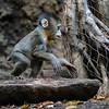 AJANI, A 2 MONTH OLD MALE BABY MANDRILL BORN 11/28/2016.