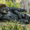 WESTERN GORILLA<br /> DENNY, A 1½ YR OLD MALE WITH AUNT NDJIA.