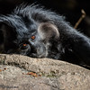 BLACK MANGABEY