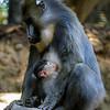 FEMALE MANDRILL KESI GAVE BIRTH ON 11/28/2016 TO A SON.
