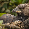 NESTING FEMALE CROWNED EAGLE