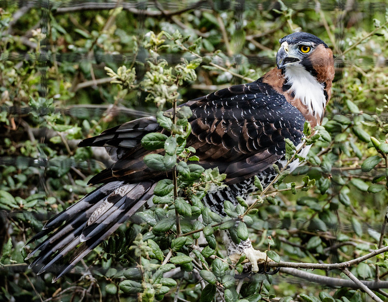 ORNATE HAWK-EAGLE