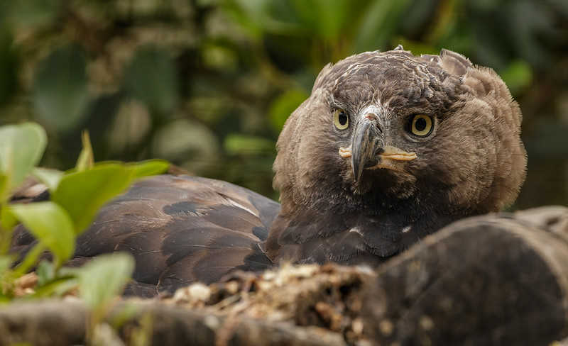 NESTING FEMALE CROWNED EAGLE