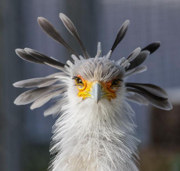 FEMALE SECRETARY BIRD