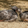 2 MONTH OLD CRESTED SCREAMER CHICK WITH IT'S MOTHER.