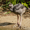 2 MONTH OLD CRESTED SCREAMER CHICK.