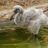 CARIBBEAN FLAMINGO <br /> Chick #1 born 5/27/2016