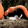 CARIBBEAN FLAMINGO CHICK<br /> FIRST HATCHING THIS YEAR, 5/27/2016.